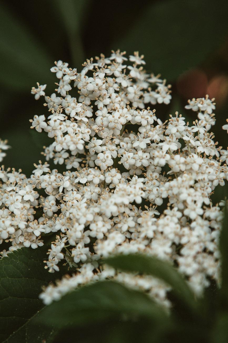 Holunderblüten Wirkung & Anwendung